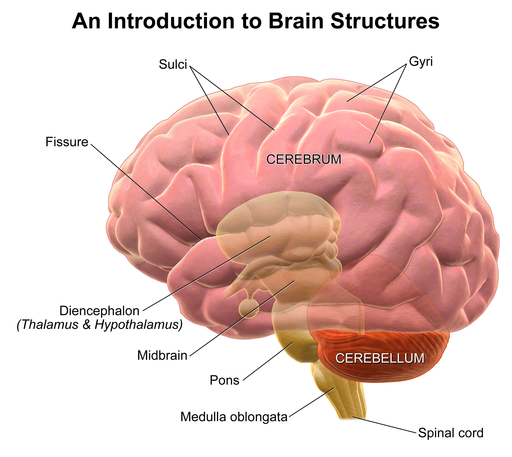 Differences in brain structure and memory suggest ...