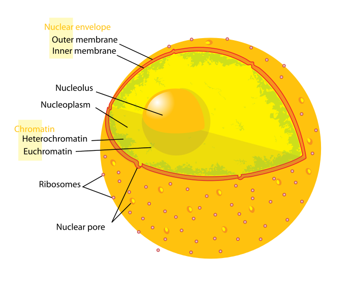 Diagram_human_cell_nucleus.svg.png