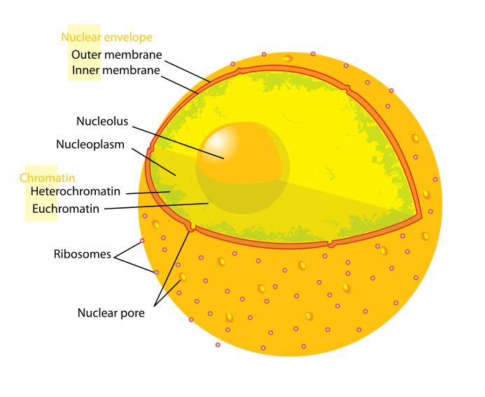 Diagram_human_cell_nucleus.svg.png